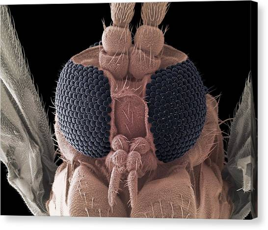 Gnats Canvas Print - Fungus Gnat Head, Sem by Steve Gschmeissner