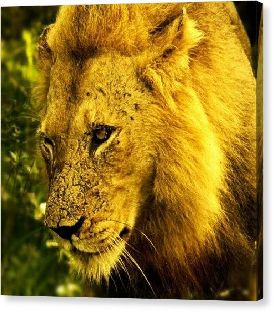 Lions Canvas Print - #instagood #iphonesia #photooftheday by Torbjorn Schei