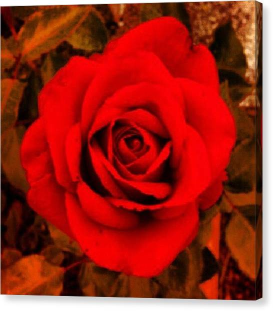 Red Roses Canvas Print - Instagram Photo by Fred Wholley
