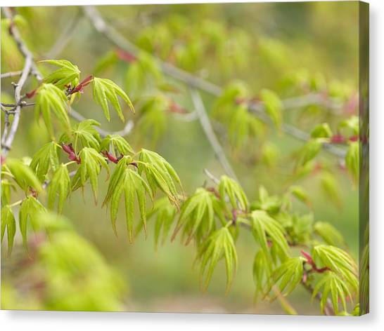 Japanese Maple (acer Palmatum) Canvas Print by Adrian Bicker