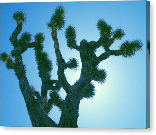 Joshua Tree Silhouette Canvas Print by Claire Plowman