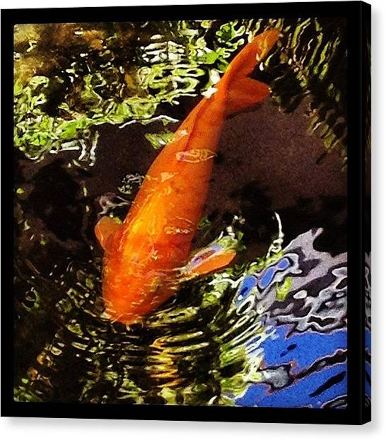 Swimming Canvas Print - Koi by Darice Machel McGuire