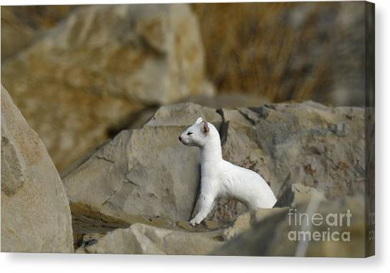 Long Tailed Weasel Canvas Print by Dennis Hammer