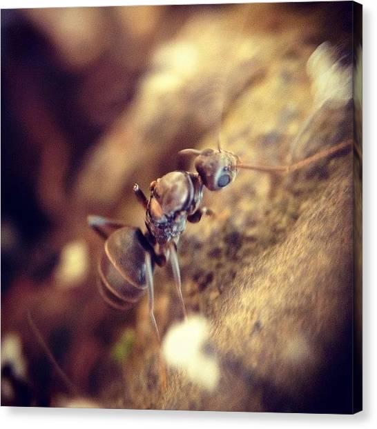 Ants Canvas Print - #macro #macrogardener #macroworld by Sooonism Heng