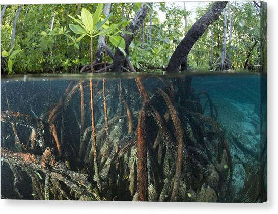 Mangrove Trees Canvas Print - Mangrove Swamp by Georgette Douwma