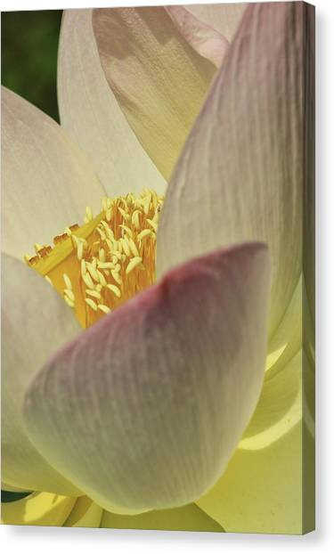 Canvas Print featuring the photograph Nelumbo 'pink And Yellow' by Perla Copernik