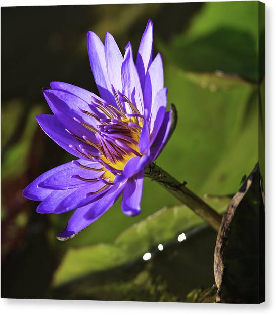 Nymphaea 'panama Pacific' Canvas Print
