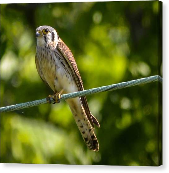 Peregrine Falcon Canvas Print by Brian Stevens
