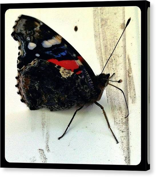 Insects Canvas Print - Phoenician Butterfly by Natasha Marco