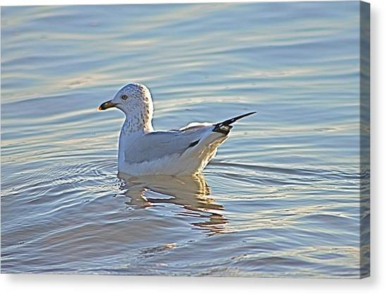 Ring-billed Gull Canvas Print