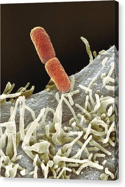 Marlow Canvas Print - Shigella Bacteria, Sem by