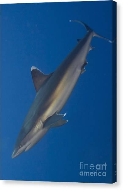 Kimbe Bay Canvas Print - Silvertip Shark, Kimbe Bay, Papua New by Steve Jones