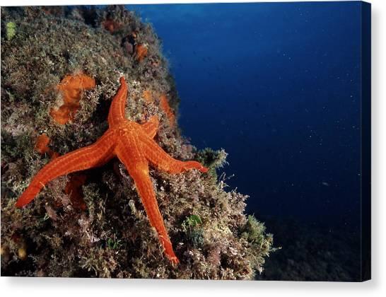 Starfish Canvas Print by Alexis Rosenfeld