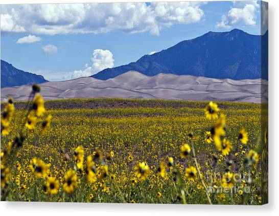 Sunflowers Sand N Sky Canvas Print by Scotts Scapes