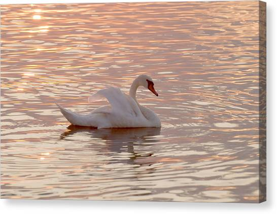 Swan In The Lake Canvas Print