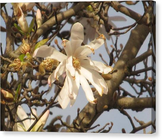 White Magnolias Canvas Print by Alfred Ng