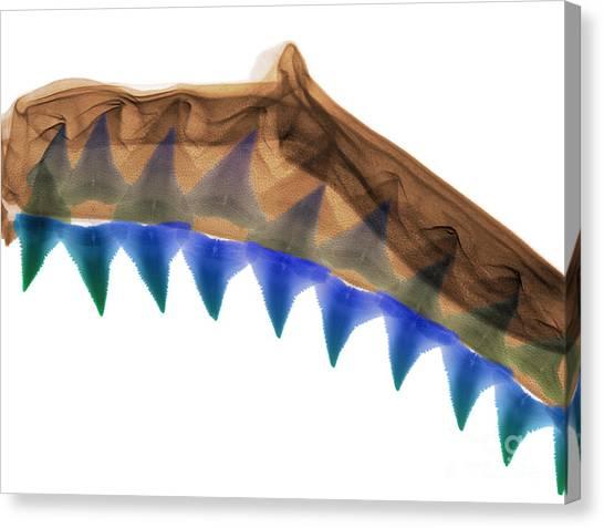 Shark Teeth Canvas Print - X-ray Of Shark Jaws by Ted Kinsman