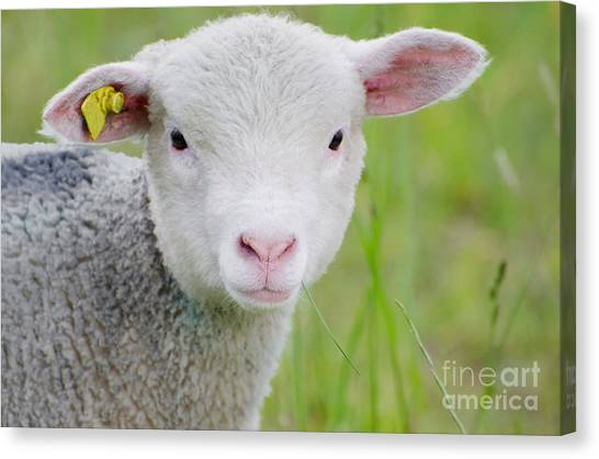 Young Sheep Canvas Print