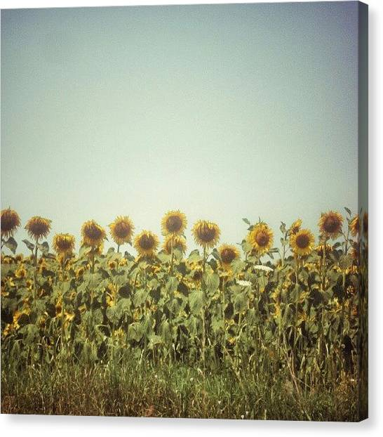 Sunflowers Canvas Print - #instamood #instagood #instagold by Taras Paholiuk