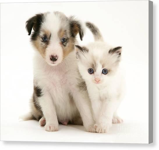 Birmans Canvas Print - Kitten And Pup by Jane Burton