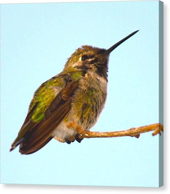 Hummingbirds Canvas Print - #instagallery #instagramers #all_shots by Mark Jackson