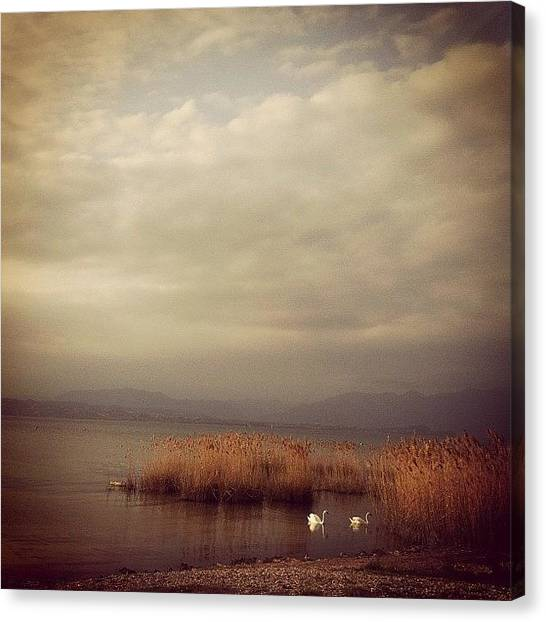 Swans Canvas Print - Instagram Photo by Ann K