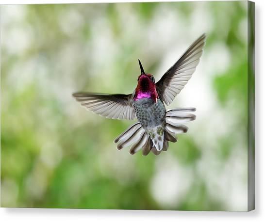 Anna's Hummingbird Canvas Print by Thy Bun