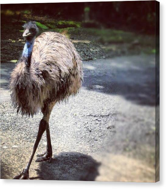 Ostriches Canvas Print - Instagram Photo by Weknow Funrecord