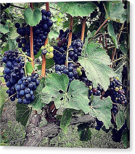 Vineyard Canvas Print - #primeshots #onlyiphone #countryside by Kareem Nour