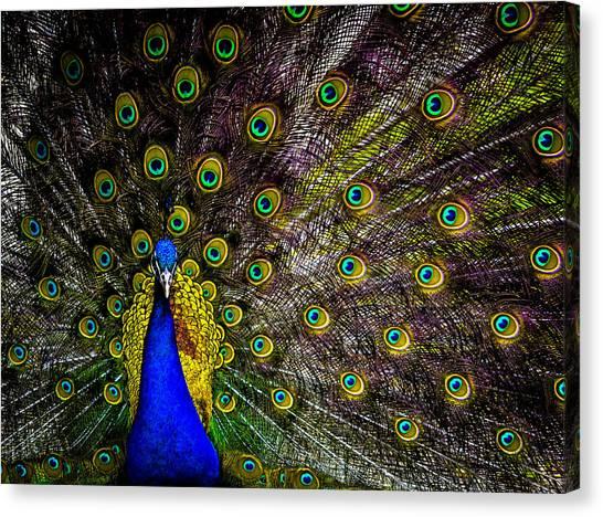 Peacock Canvas Print by Brian Stevens