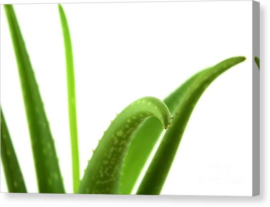 Aloe Vera Canvas Print by Blink Images