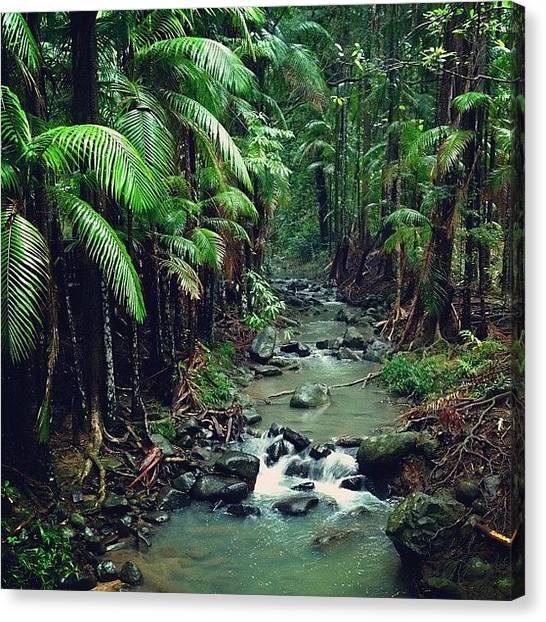 Rainforests Canvas Print - #buderimforestpark #australia by Tony Keim