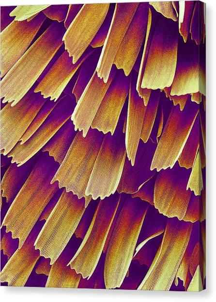 Butterfly Wing, Sem Canvas Print by Susumu Nishinaga