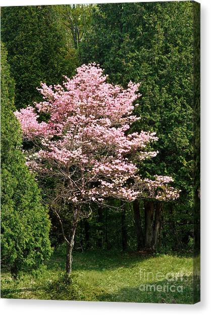 Cherry Blossoms Canvas Print by HD Connelly