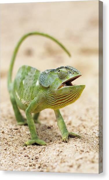 Flap-necked Chameleon Canvas Print by Georgette Douwma