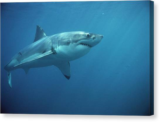 Shark Canvas Print - Great White Shark Carcharodon by Mike Parry