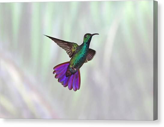 Mangos Canvas Print - Hummingbird by David Tipling