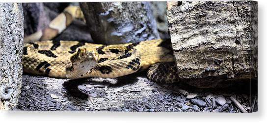 Timber Rattlesnakes Canvas Print - Looking At You by JC Findley