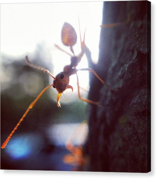 Ants Canvas Print - #macrogardener #nature #insect #ant by Sooonism Heng