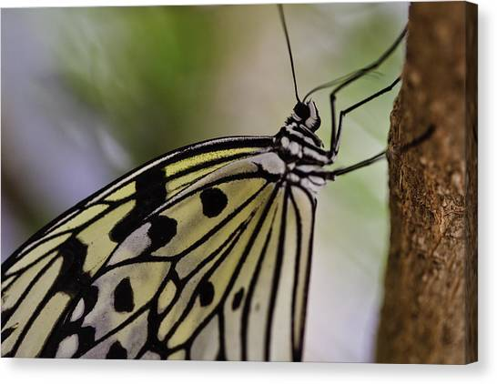 Canvas Print featuring the photograph Paper Kite Butterfly by Perla Copernik