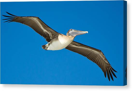 Pelican Canvas Print by Mike Rivera