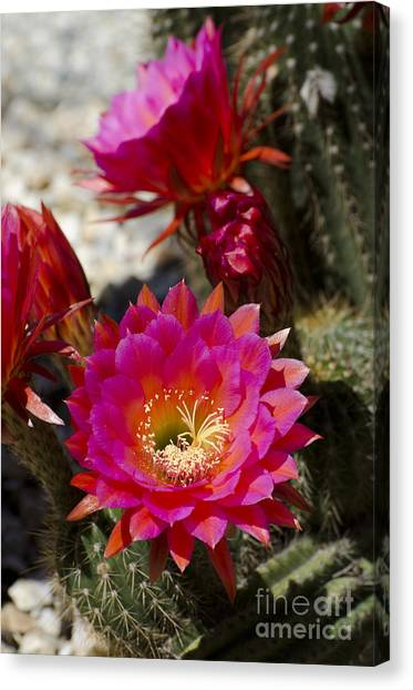 Pink Cactus Flowers Canvas Print