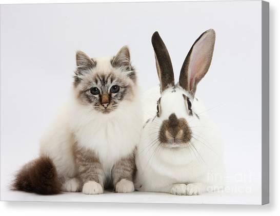 Birmans Canvas Print - Tabby-point Birman Cat And Rabbit by Mark Taylor