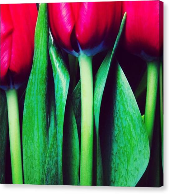Tulips Canvas Print - Instagram Photo by Ritchie Garrod