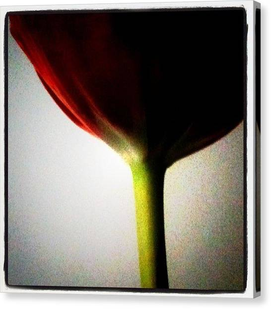 Tulips Canvas Print - Instagram Photo by Christopher Campbell