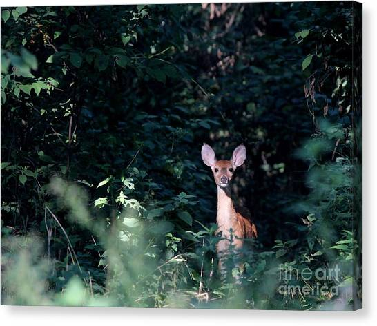 White-tailed Deer Canvas Print by Jack R Brock