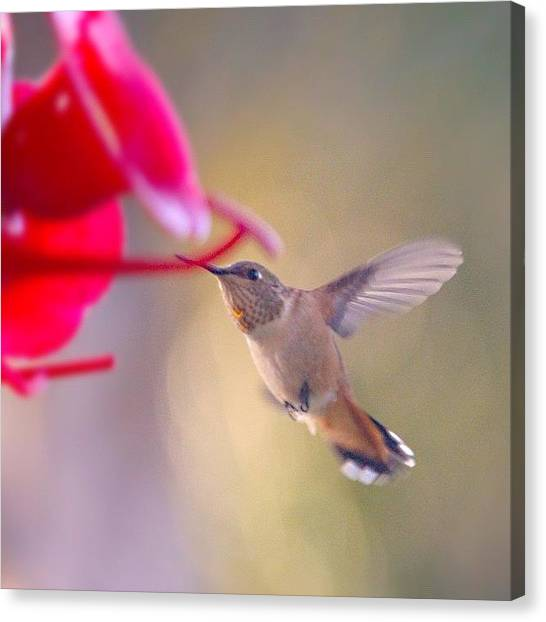 Hummingbirds Canvas Print - #instagallery #instagramers #all_shots by Mark Jackson