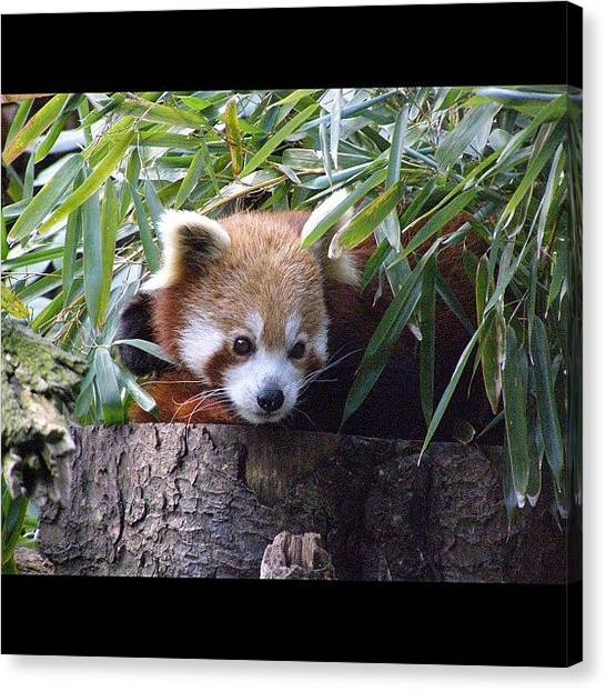Panda Canvas Print - Instagram Photo by Harold Coombs III