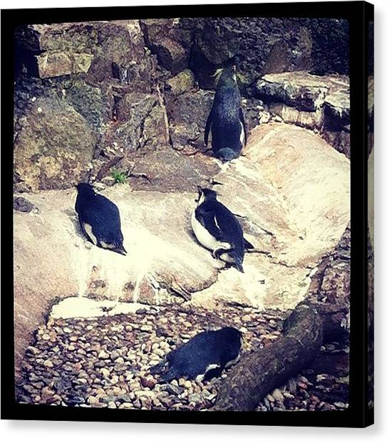 Penguins Canvas Print - Love This Picture? Check Out My Gallery by Jude L