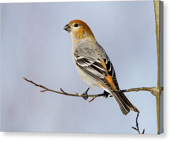 Female Pine Grosbeak Canvas Print